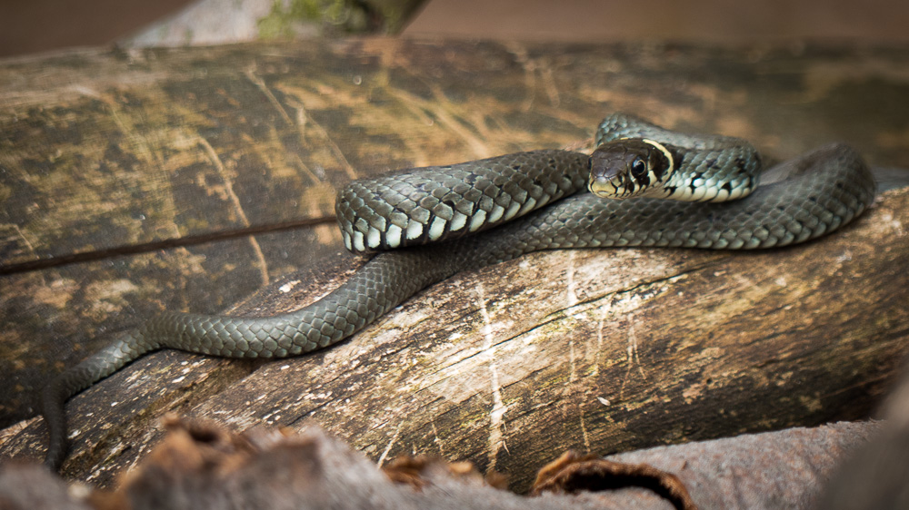 schlangen-im-wilden-brandenburg-baby-snakes
